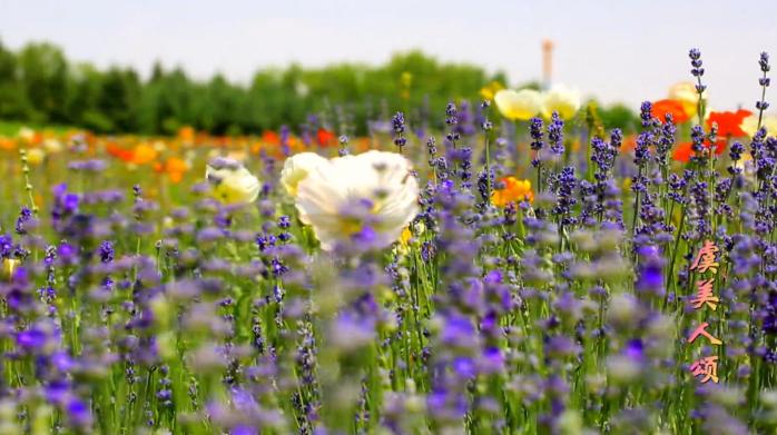 【视频】金昌旅游宣传片《虞美人颂》