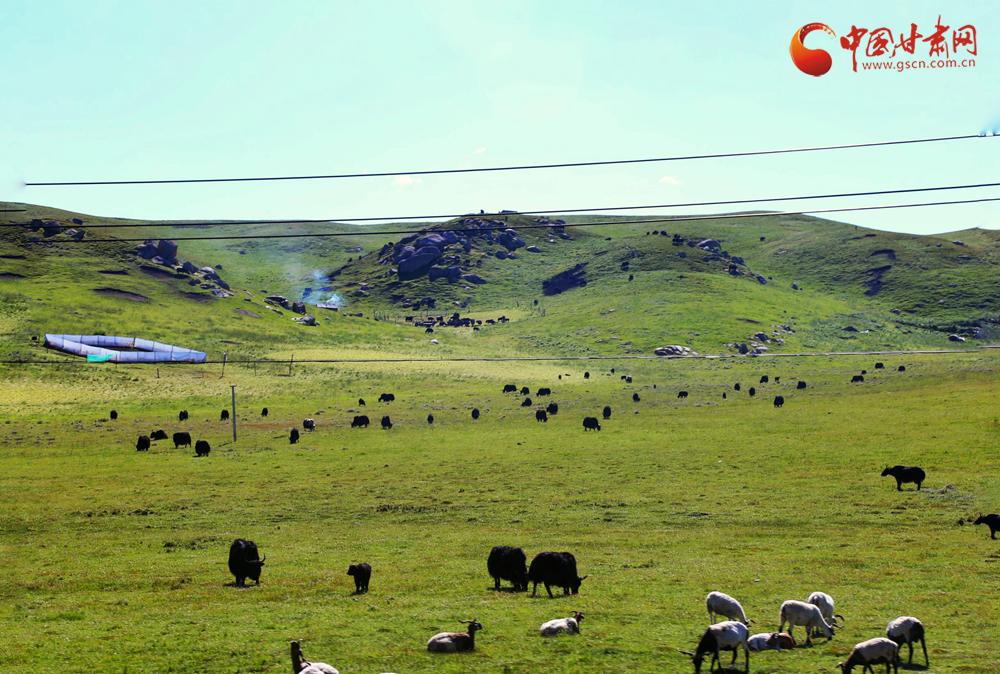 甘肃甘南:牛羊徜徉草原间 风景如画引客来(组图)