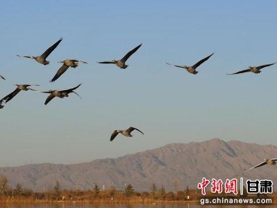甘肃张掖湿地成候鸟南迁途中休憩驿站