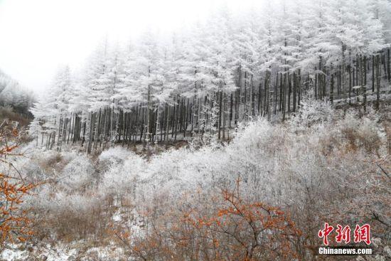 甘肃六盘山区雾凇压树枝冬日开霜花