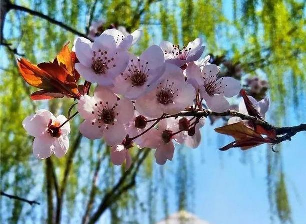 春花已绽放,临夏的多彩春天已经来到!