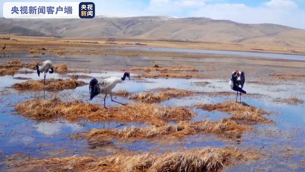 开湖啦!黑颈鹤来做客 甘肃甘南尕海湖迎来候鸟迁徙期