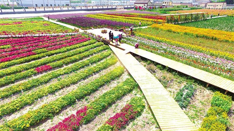 临夏市折桥镇河州花之约花卉博览园花卉次第盛开